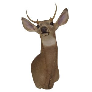 Deer Head Taxidermy